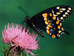 Free online Jigsaw puzzle N05: The Butterfly
