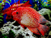 Jigsaw puzzle N50: Red fish