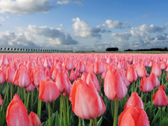 Free online Jigsaw puzzle N130: Million of red tulips