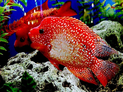 Free online Jigsaw puzzle N50: Red fish