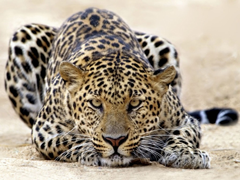 Free online Jigsaw puzzle N55: Leo rest