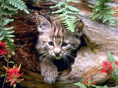 Free online Jigsaw puzzle N72: Wild cat