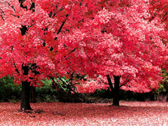 Free online Jigsaw puzzle N73: Red autumn